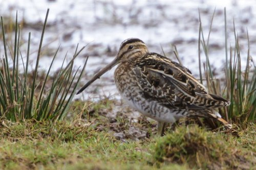 Snipe also in both fields towards platform