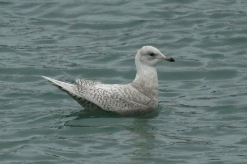 Iceland gull, Brixham harbour.