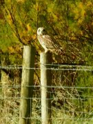 Short Eared Owl at Home Farm Marsh