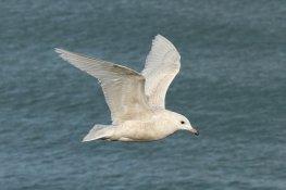 Iceland gull, juvenile/1st winter