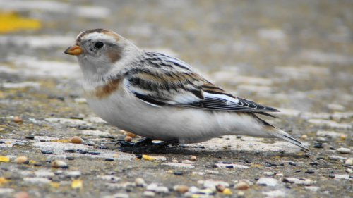 Snow Bunting  near Powderham Corner  14-3-2015