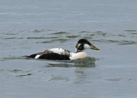 Eider drake 1st sum Goodrington 1st May 2017 ML
