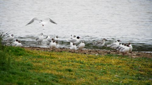 adult & juvenile Mediterranean Gulls from the hide
