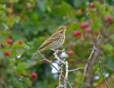 Tree Pipit Berry Hd 13 Sept 2014 ML