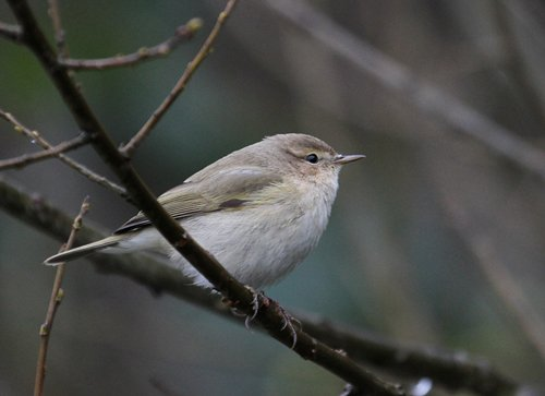 Siberian Chiffchaff by Chris Townend