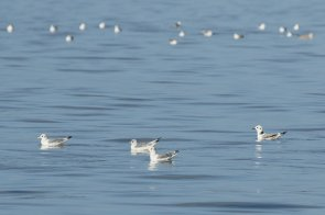 Kittiwakes, a few of the big flock.