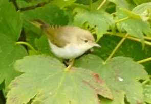 Western Bonelli's Warbler Berry Head 29 Aug 2018 ML