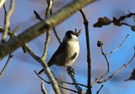 Marsh Tit at the Belvedere