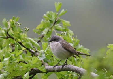 Lesser Whitethroat by Chris Townend