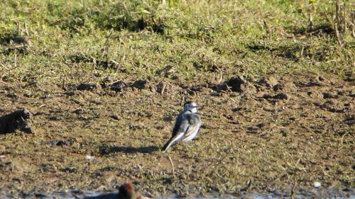 White Wagtail   BGM  14-10-2015