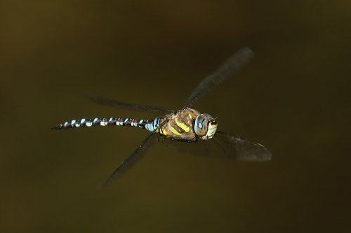 migrant hawker, also male.