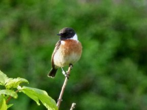 Stonechat Continental? Berry Hd 11 May 2014 ML