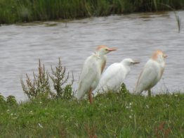 Cattle Egret Family Group