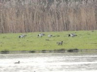 Barnacle Geese distant Powderham Marsh
