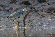 Grey Heron and Eel