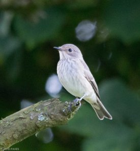 Spotted Flycatcher - South Brent - 29/8/2016