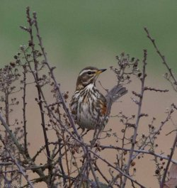 Redwing - West Charleton - 25.1.17