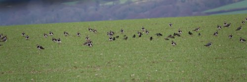 small part of lapwing flock on Slapton Rd. - 21-01-2019
