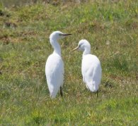 Cattle Egrets - South Huish Marsh - 24.7.17
