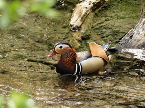 Mandarin Duck, Yarner wood