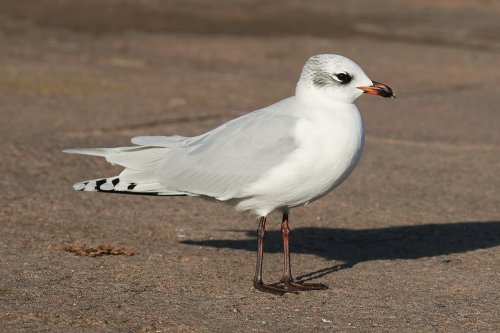 2nd winter Mediterranean gull