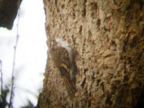 Treecreeper Powderham Estate