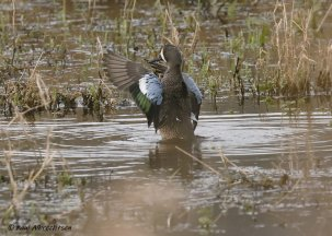 Bluewinged Teal Mansands 070220PA