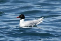 Med gull, summer adult