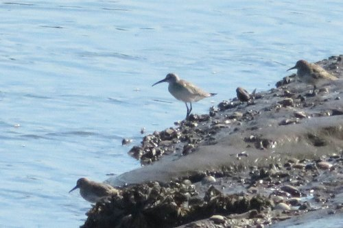 curlew sandpiper in the middle