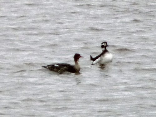 Token shot of the Long-tailed Duck in poor light