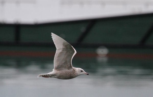 First year Iceland Gull