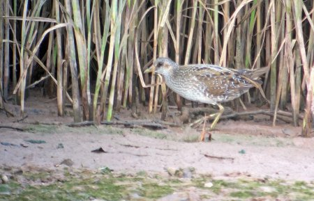 Spotted Crake, Otter Estuary by Chris Townend