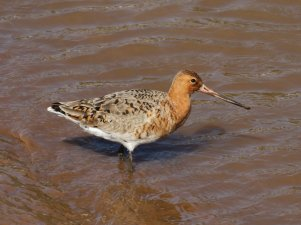 Black-tailed Godwit in partial breeding plumage