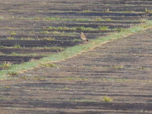 Wheatear August 28th