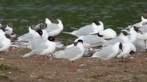2nd summer and 2 adult mediterranean gulls