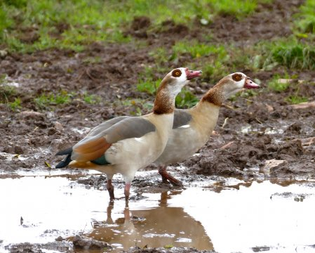 Egyptian Geese Waddeton 10 Nov 2018 ML