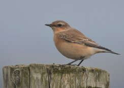 Wheatear, juv/1st winter