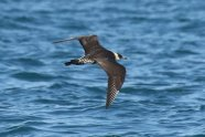 Pomarine skua, 2nd summer