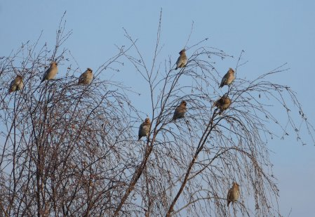 Waxwing Heathfield 22 01 17 ML
