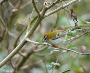 Firecrest Broadsands 16 Nov 2015 ML 2
