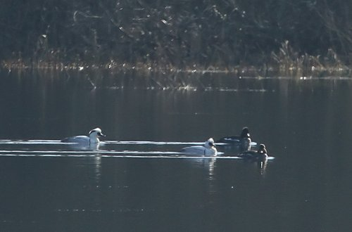 Smew with goldeneye
