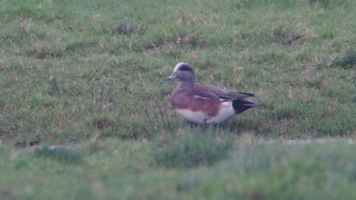 American Wigeon  at  Exminster Marsh