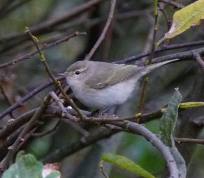 eastern Chiffchaff Clennon Valley 27 Nov 2013 ML2