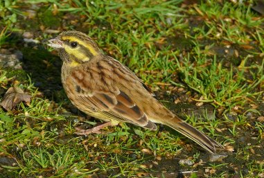 Cirl Bunting Male Broadsands 11 Nov 2018 ML
