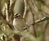Firecrest around the Ley