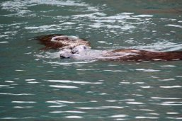 Grey Seal, Fishcombe