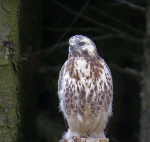 Pale buzzard