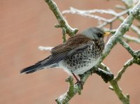 Fieldfare in ice-glazed Chudleigh garden