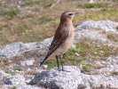 Wheatear © martin thorne, 4/8/2019, Lundy, Liking the Sentinel stance.