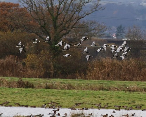 25 Barnacle Geese 24.11.16 Exminster Marshes